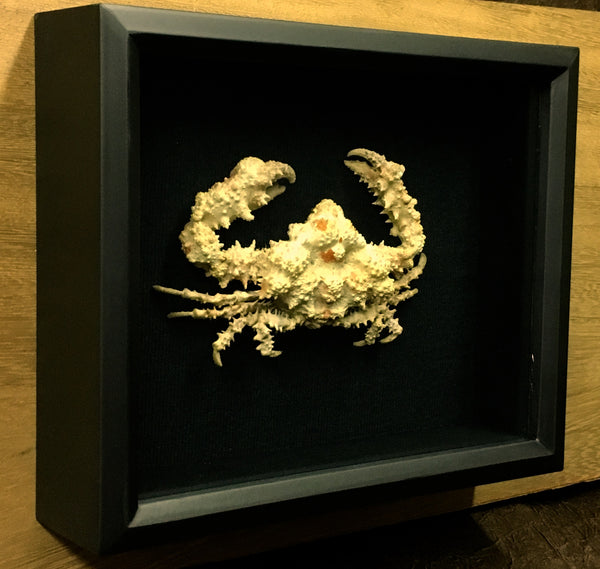 Rubble Crab - Daldorfia horrida - Mounted Crustacean in Shadow box