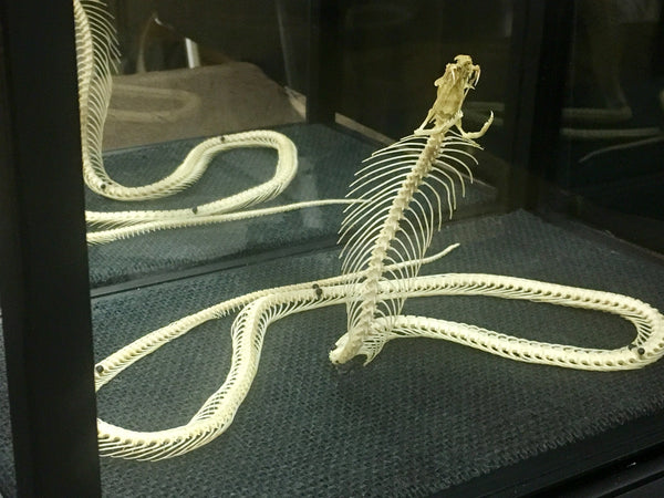 Cobra Snake Skeleton with Display Case - Naja sp.