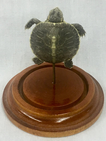 Yellow-Bellied Slider Turtle Taxidermy in Dome - Trachemys scripta