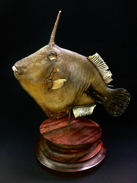 Broom Filefish Taxidermy - Amanses scopas