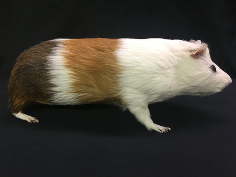 Domestic Guinea Pig Taxidermy - Cavia porcellus