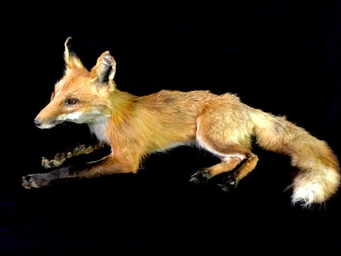 Red Fox Taxidermy - Vulpes vulpes