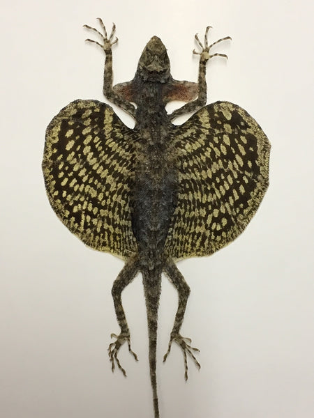 Flying Lizard Taxidermy - Draco volans