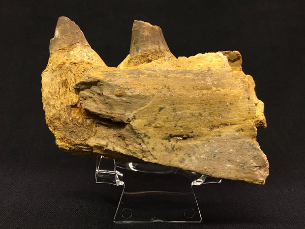 Mosasaur Jaw section with Teeth (gigantic marine lizard)