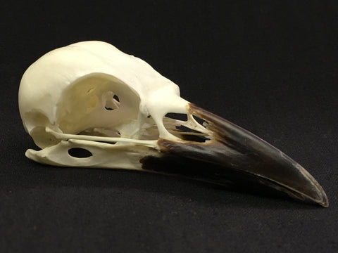 Carrion Crow Skull - Corvus corone
