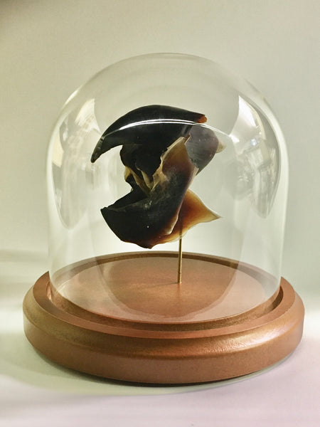 Humboldt Squid Beak in Glass Dome - Dosidicus gigas