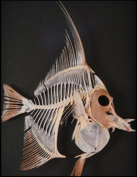 Moorish Idol Skeleton - Zanclus cornutus - Mounted Fish in Shadow box #FM1