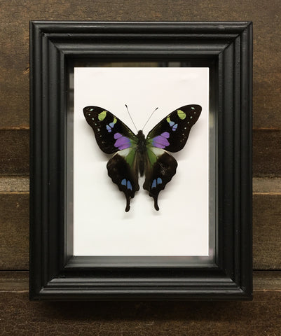Butterfly: Purple Spotted Swallowtail - Graphium weiskei