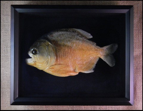 Piranha Fish in Shadow Box - Serrasalmus sp. - #1