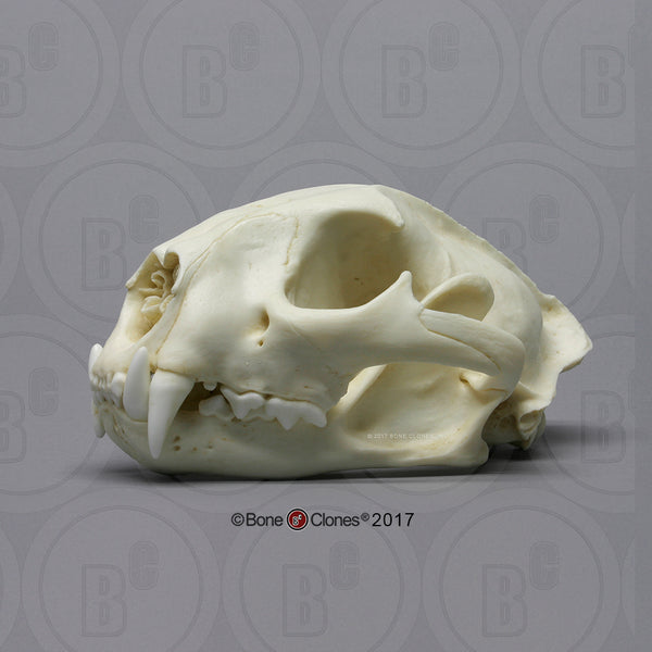 Cat Skull (Cougar - male) Cast Replica - Puma concolor #BC-015