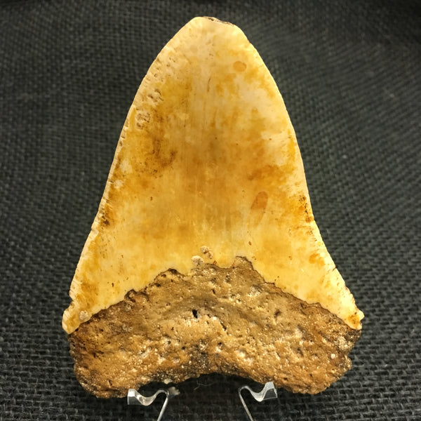 "Megatooth Shark tooth 4&3/8"" - Carcharocles megalodon (gigantic shark) - #MEG10"