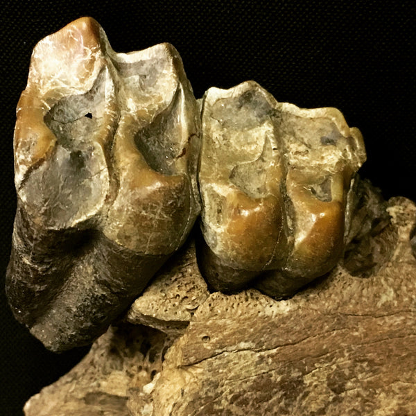 "Tapir Jaw with Teeth 4"" - Tapirus veroensis"