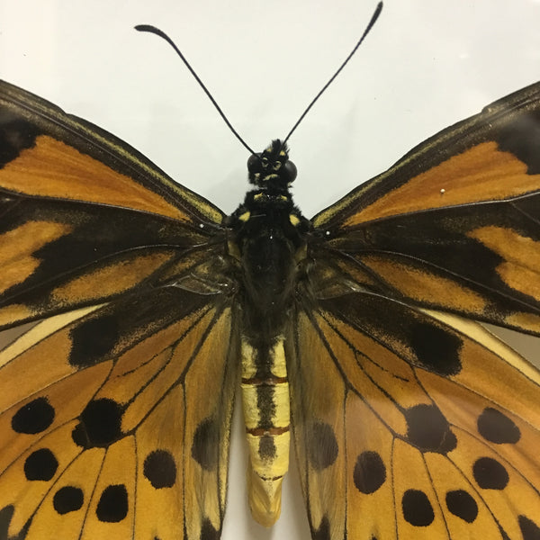 Giant African Swallowtail Butterfly - Papilio antimachus
