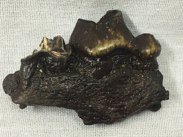 "Dire Wolf Jaw w/ Teeth 1&3/4"" - Canis dirus"