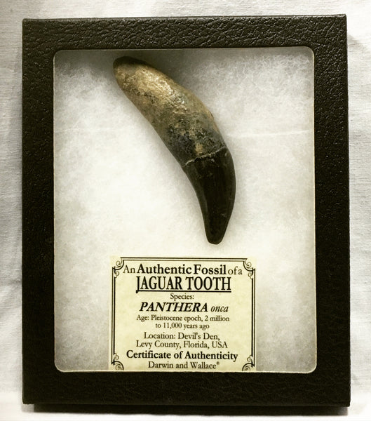"Jaguar Tooth 3&3/8"" - Panthera onca"