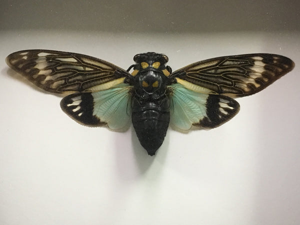 Blue Cicada - Distantalna splendida