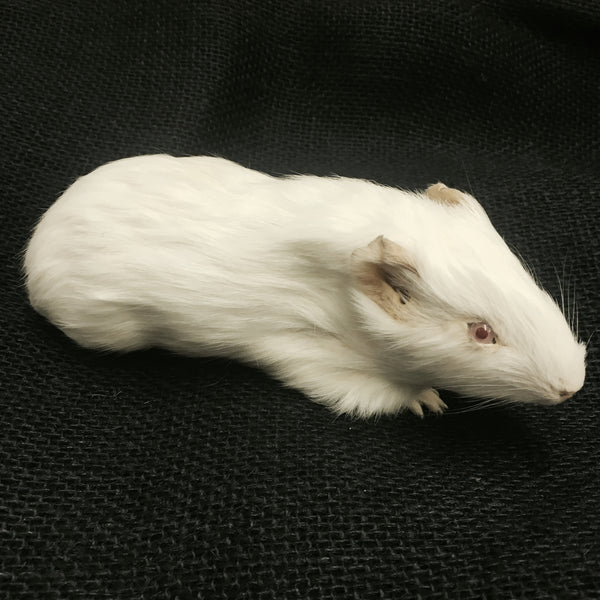 Domestic Guinea Pig Taxidermy - Cavia porcellus - #TM2