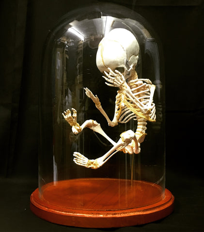 Cast Replica Human Fetal Skeleton in Glass Dome - Homo sapiens