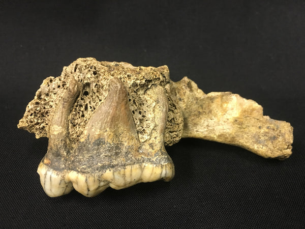 "Cave Bear Palate with Molar 4"" - Ursus spelaeus"