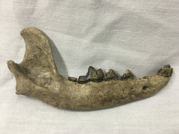 "Red Wolf Jaw w/ Teeth 4&3/4"" - Canis rufus"