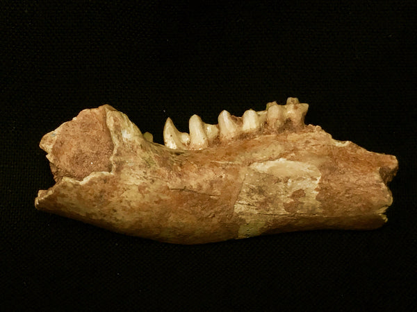 Red-Necked Wallaby Jaw with Teeth - Macropus rufogriseus