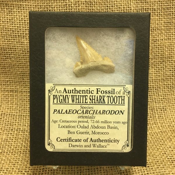 "Pygmy White Shark tooth 1&9/16"" - Palaeocarcharodon orientalis - #FST2"