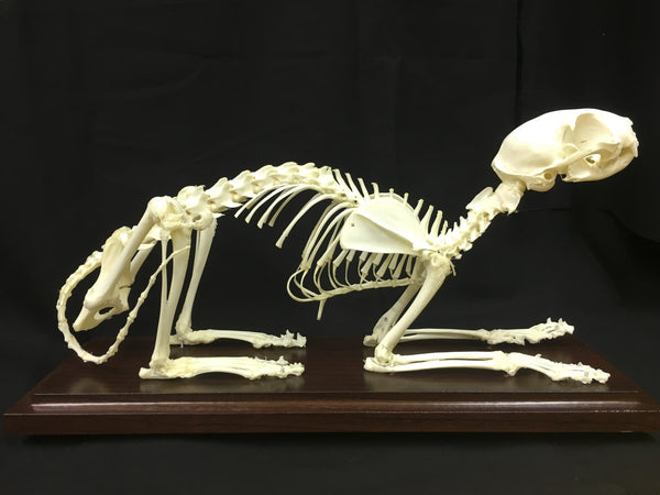 Domestic Cat Skeleton - Felis catus