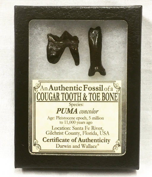 "Cougar Tooth & Toe Bone 1"" - Puma concolor"