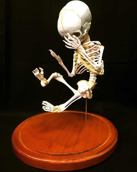 Human Fetal Skeleton Cast Replica in Glass Dome - Homo sapiens