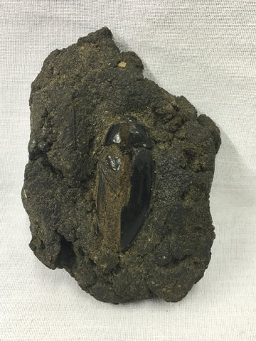 "Water Scavenger ""Tar Pit"" Beetle Fossil 3&1/8""L - Hydrophilus sp."