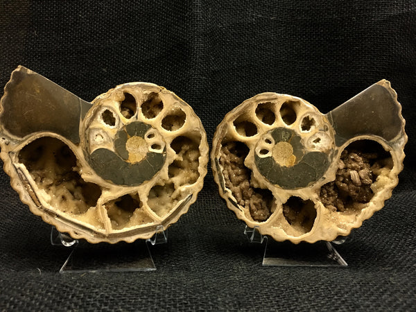 "Bisected Ammonite shell pair 5&3/8"" - Douvilleiceras sp. -  #FA6"