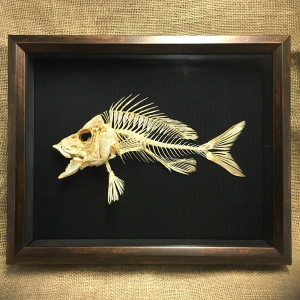 White Grunt Skeleton - Haemulon plumierii - Mounted Fish in Shadow box