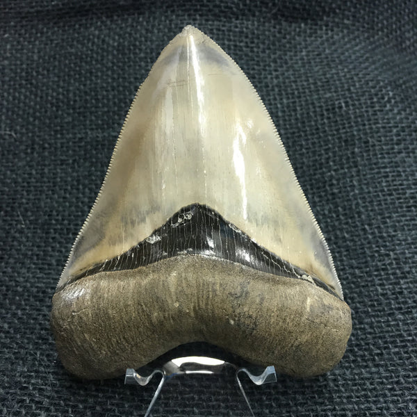 "Megatooth Shark tooth 4&1/8"" - Carcharocles megalodon (gigantic shark) - #MEG6"