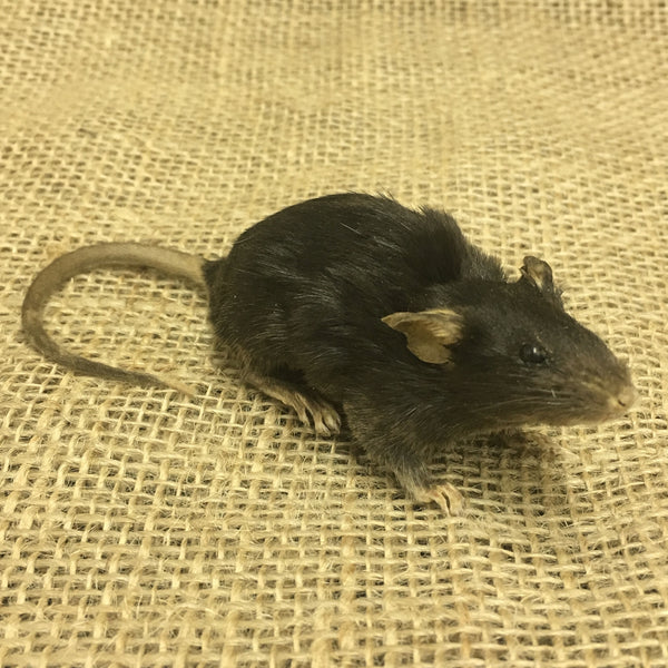 House Mouse Taxidermy - Mus musculus - #TM3