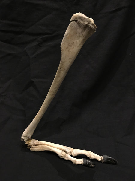 Red-necked Wallaby Leg - Macropus rufogriseus