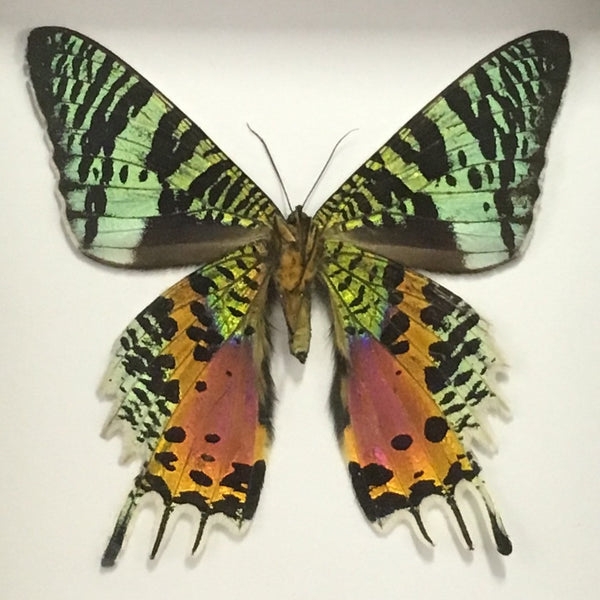 Moth: Madagascan Sunset Moth - Chrysiridia rhipheus - ventral side