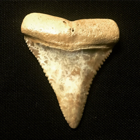 "Great White Shark Tooth 1&1/2"" - Carcharodon carcharias"