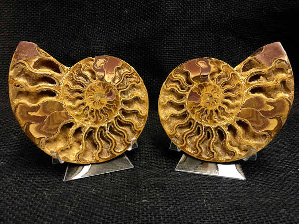"Bisected Ammonite shell pair 4&1/2"" - Cleoniceras sp. -  #FA2"