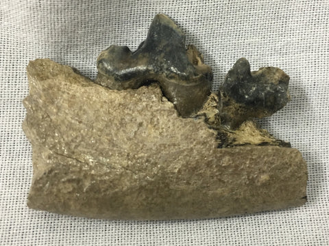 "Dire Wolf Jaw w/ Teeth 1&11/16"" - Canis dirus"