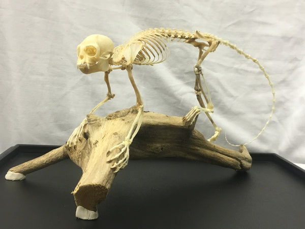 Common Marmoset Monkey Skeleton with Display Case - Callithrix jacchus
