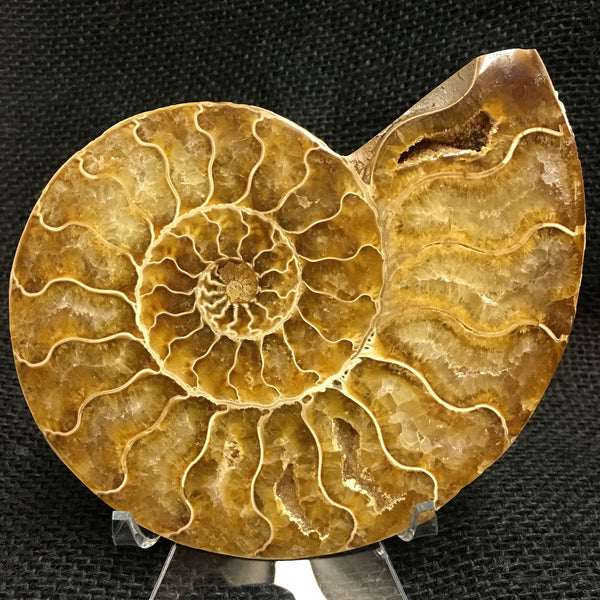 "Bisected Ammonite shell pair 5&1/4"" - Cleoniceras sp. -  #FA4"