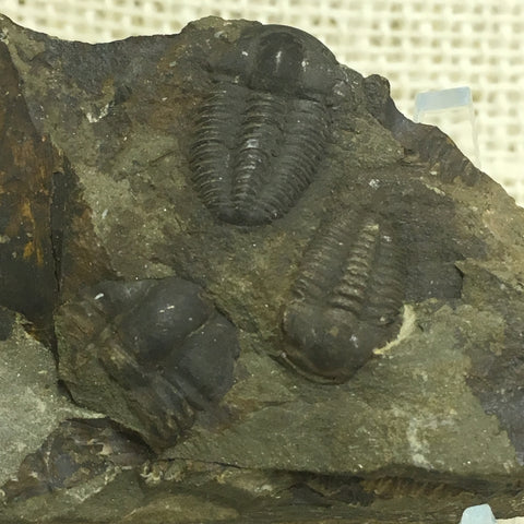 "Czech Trilobite 3&1/2"" - Ellipsocephalus hoffi - #FT23"
