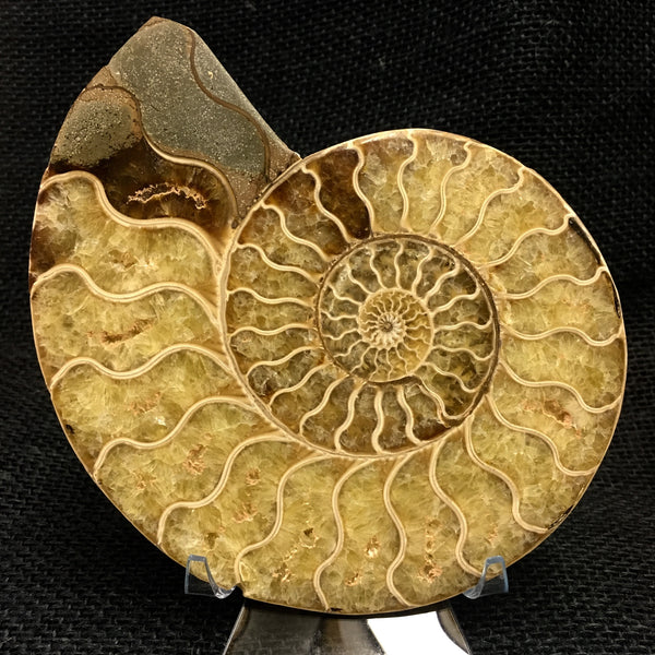"Bisected Ammonite shell pair 5&1/2"" - Cleoniceras sp. -  #FA3"