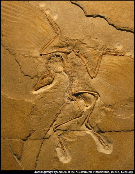 Archaeopteryx Mount w/ Real Feathers