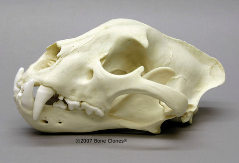 Cat Skull (Jaguar - male) Cast Replica - Panthera onca #BC-057