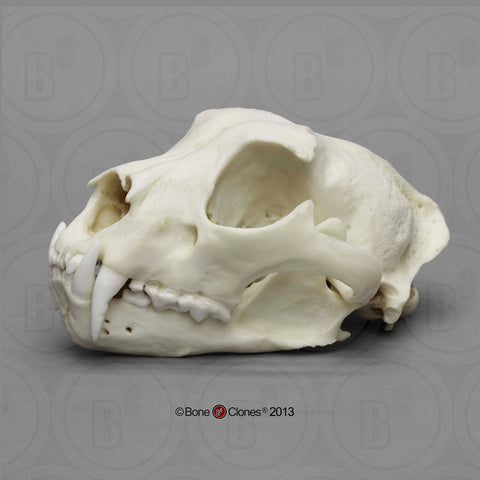 Cat Skull (Snow Leopard - male) Cast Replica - Uncia uncia #BC-056