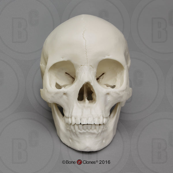 Human Skull (Asian female) Economy Cast Replica - Homo sapiens #BC-059E