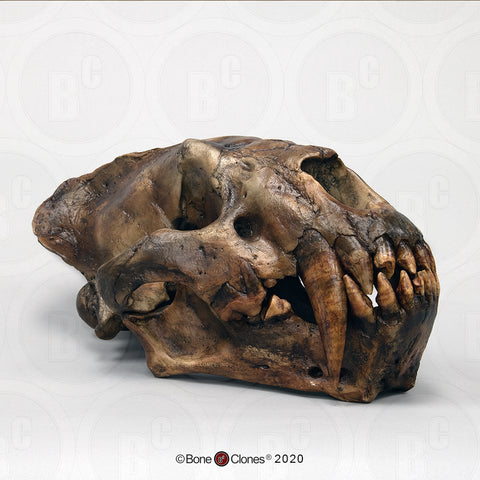 Cat Skull (Sabertooth Cat) Cast Replica - Xenosmilus hodsonae #BC-113