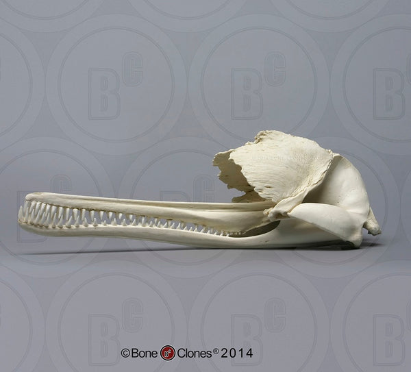 Dolphin Skull (Ganges River Dolphin) Cast Replica - Platanista gangetica #BC-184