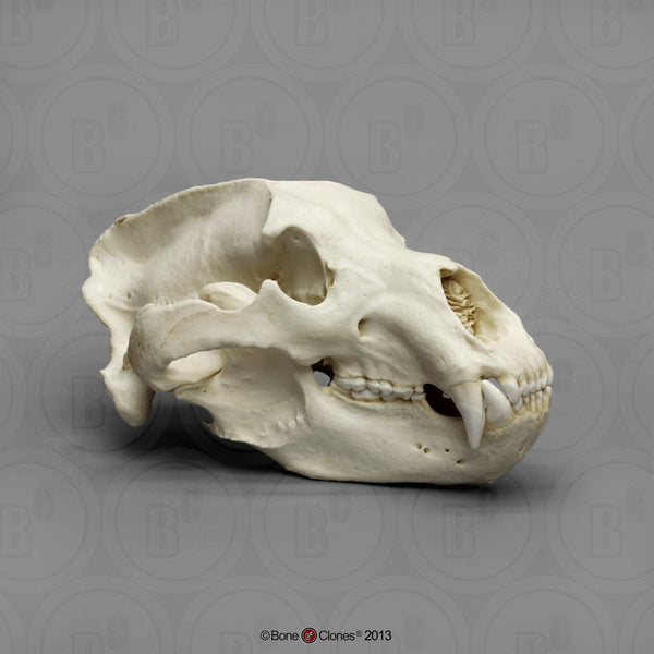 Bear Skull (Kodiak Grizzly) XL Cast Replica - Ursus arctos middendorffi #BC-021